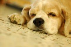 El dormir del perro de aguas de cocker fotos de archivo