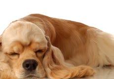 El dormir del perro de aguas de cocker Imagen de archivo libre de regalías