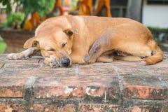 El dormir del perro de la lepra Imagen de archivo libre de regalías