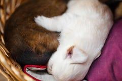 El dormir del perro de perrito Imagen de archivo libre de regalías