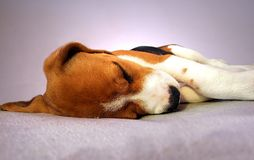 El dormir del perro del beagle Imagen de archivo