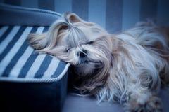 El dormir del perro del tzu de Shih Imágenes de archivo libres de regalías