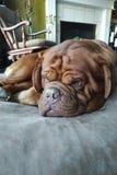El dormir del perro del mastín Imagenes de archivo