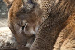 El dormir del puma Fotografía de archivo