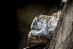 El dormir del roedor Foto de archivo