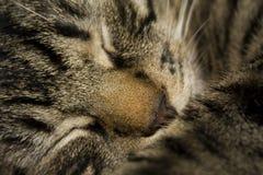 El dormir dulce del gato Foto de archivo libre de regalías