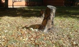 El dormir en el gato amarillo del rojo de las hojas de otoño Imágenes de archivo libres de regalías