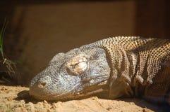 El dormir en el retrato del dragón de Komodo del sol Fotografía de archivo libre de regalías
