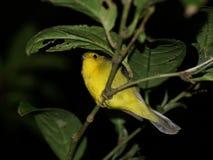 El dormir en un pájaro de la rama Imagenes de archivo