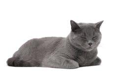 El dormir Escocés-recto de la raza del gato (edad 1 año 3 meses) en a Imagen de archivo