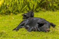 El dormir femenino negro del cerdo Fotos de archivo