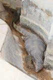 El dormir gordo del lagarto de monitor de agua Imagen de archivo