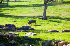El dormir ibérico de los cerdos Imagenes de archivo