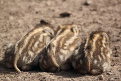 El dormir joven de los verracos Fotografía de archivo libre de regalías
