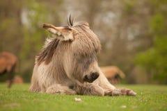El dormir joven del burro Imagen de archivo libre de regalías