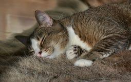 El dormir Kitty Fotografía de archivo