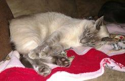 El dormir Kitty Imagen de archivo libre de regalías