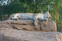El dormir, león raro, blanco en una roca foto de archivo