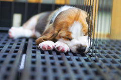 El dormir lindo del beagle del perrito Imagenes de archivo