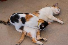 El dormir marrón blanco y negro del gato Fotografía de archivo libre de regalías