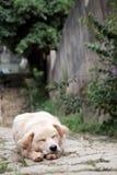 El dormir masculino blanco del perro Imágenes de archivo libres de regalías