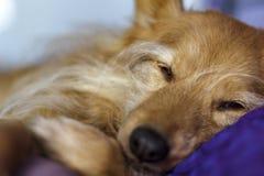 El dormir mezclado del perro de la raza fotografía de archivo