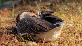El dormir nacional de los gansos chinos fotografía de archivo