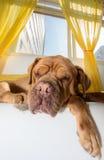 El dormir perezoso del perro Fotografía de archivo libre de regalías