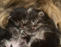 El dormir recién nacido de dos gatitos Foto de archivo libre de regalías