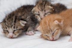 El dormir recién nacido de los gatitos en la alfombra blanca Imágenes de archivo libres de regalías