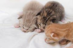 El dormir recién nacido de los gatitos en la alfombra blanca Imagen de archivo libre de regalías