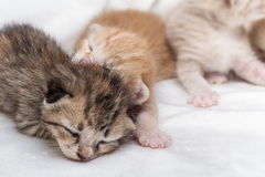 El dormir recién nacido de los gatitos en la alfombra blanca Fotografía de archivo