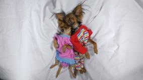 El dormir recién nacido de los puppys Pequeños perros adultos Toy Terriers en pijamas fotografía de archivo