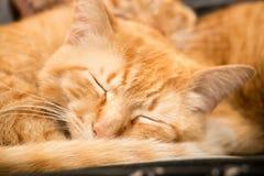 El dormir rojo del gato Imagen de archivo libre de regalías