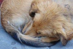 El dormir rojo del perro encrespado encima de cierre para arriba fotografía de archivo libre de regalías