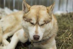El dormir rojo del perro esquimal Foto de archivo libre de regalías