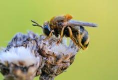 El dormir salvaje de la abeja Foto de archivo libre de regalías
