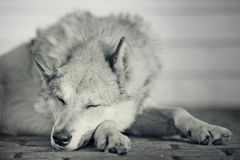El dormir sucio del perro divertido pacífico Imágenes de archivo libres de regalías