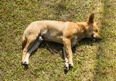 El dormir tailandés del perro Imagenes de archivo