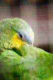 El dormir verde del loro del macaw imagen de archivo libre de regalías