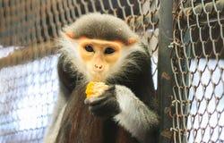 El douc rojo-shanked come la comida en una jaula Imágenes de archivo libres de regalías