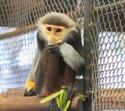 El douc rojo-shanked come la comida en una jaula Fotografía de archivo libre de regalías