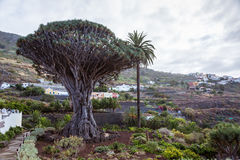 El Draco tree Royalty Free Stock Images