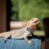 El dragón barbudo del este de Centralian asolea a su uno mismo en un sofá en un hogar imagenes de archivo