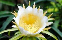 El dragón da fruto flor Fotografía de archivo libre de regalías