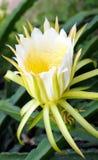 El dragón da fruto flor Imagen de archivo