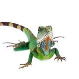 El dragón de agua australiano en el fondo blanco Imagen de archivo