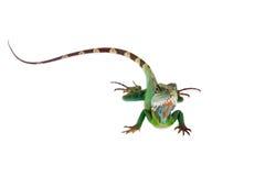 El dragón de agua australiano en el fondo blanco Fotografía de archivo