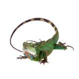 El dragón de agua australiano en el fondo blanco Foto de archivo libre de regalías