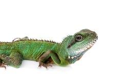 El dragón de agua australiano en el fondo blanco Imagenes de archivo